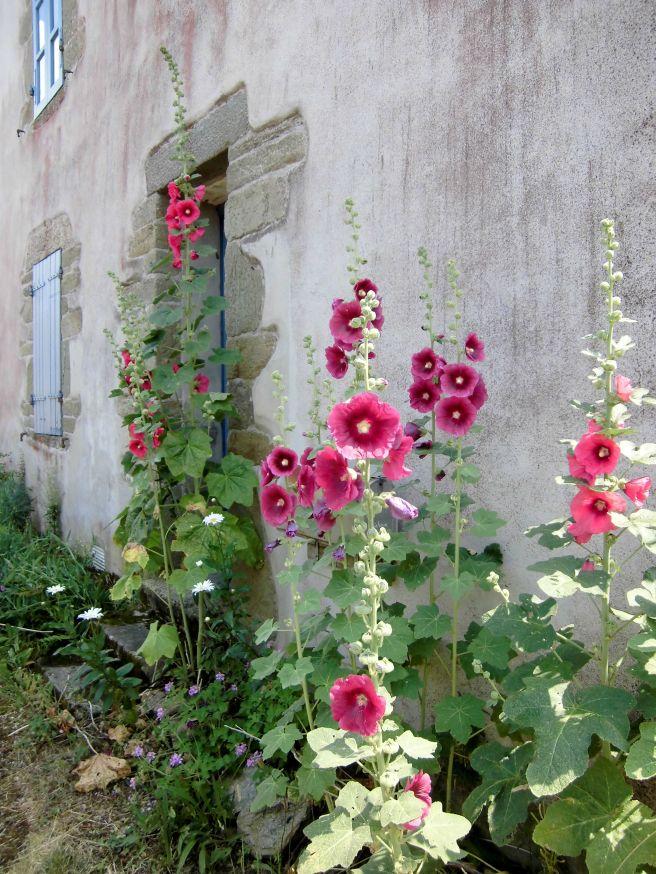 fleurs à Groix