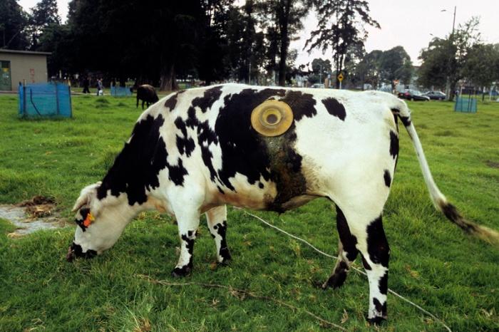 vache à hublot