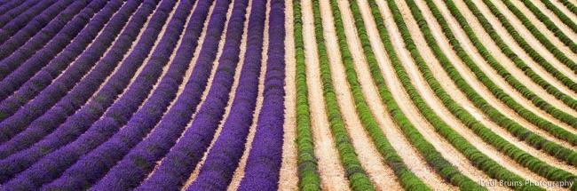 champs-lavande-recolte-lavandula-angustifolia-1